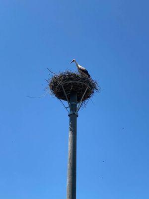Kežmarská nemocnica spolupracovala pri prekládke bocianieho hniezda
